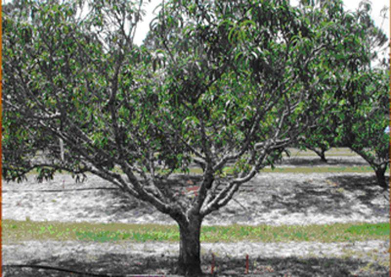 Trees must therefore be pruned annually to enhance tree growth, reduce fruit thinning costs and adjust crop load for the following season.