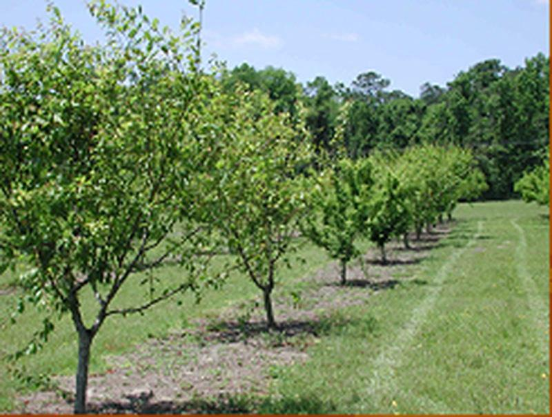 Training and Pruning Florida Peaches, Nectarines, and Plums 2 Pruning at Planting Figure 2. Plum trees trained to a modified central leader.