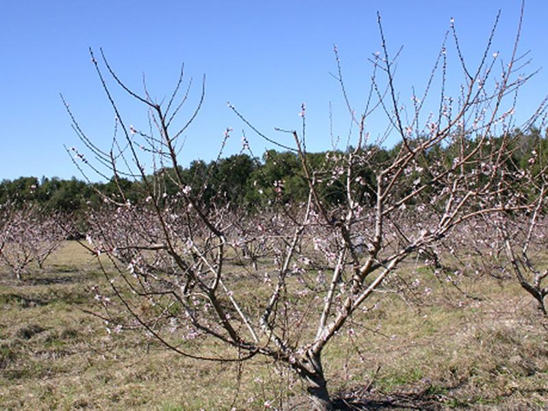 Training and Pruning Florida Peaches, Nectarines, and Plums 5 Figure 9. Peach trees pruned in March during bloom. wood like peaches and nectarines.