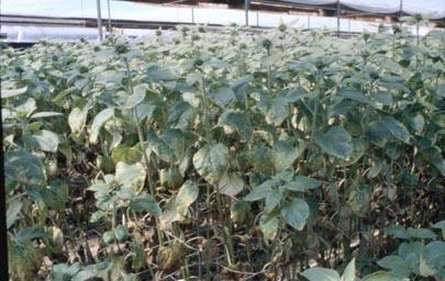 Excessive fertilizer Sunflowers are sensitive to high salt levels.