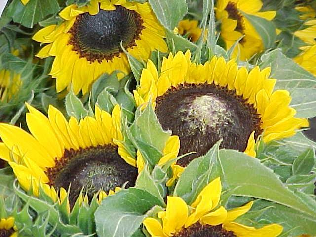 Flower damage from excess Nitrogen High nitrogen rates toward the end of the crop can cause the disc to
