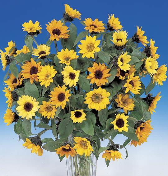 Flowering: Short Day Variety Sunbright is a short day cool temperature variety and will flower more quickly under short day and cool temperature