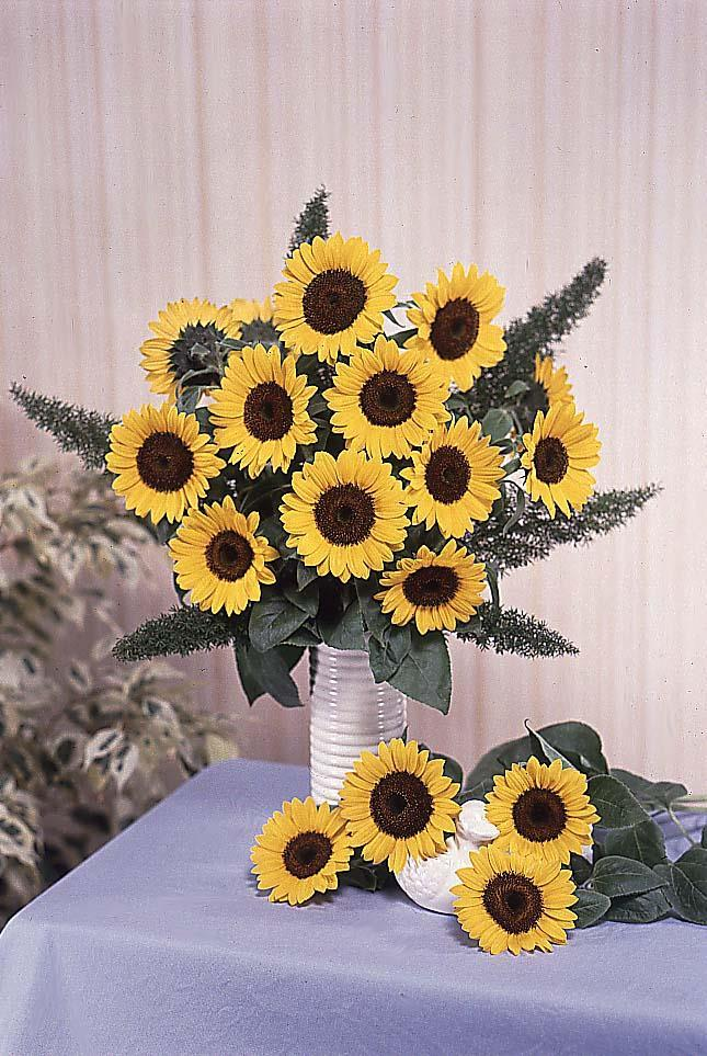 Sunflower Sunbright Supreme Less sensitive to photo period in long day conditions 10 days earlier than