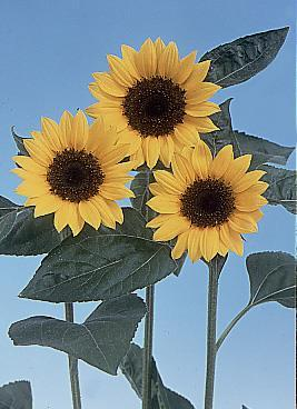 Plug Culture Tips Sunflower Sunbright and Sunbright Supreme are prized for their large flowers, bright colors and long vase