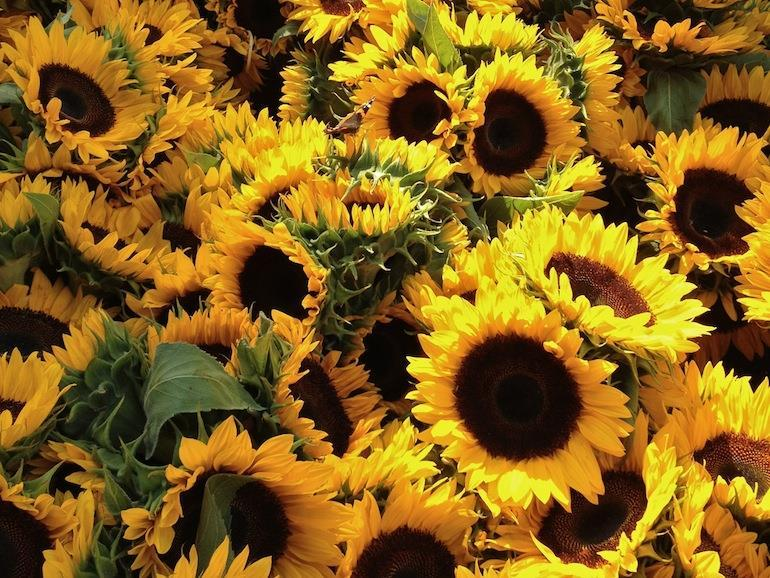 Sunflower Postharvest Care Stems should be cut into and held in a commercial holding solution or acidified water. Sunflowers benefit greatly from solution with a low ph (acidic).