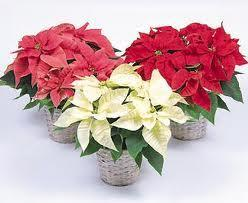 "TIPS - HOW TO EXTEND THE LIFE OF YOUR POINSETTIA For those of you not too familiar with the ""TIPS"" section on the website www.greelygardeners.ca, I have copied one of the previous tips to share again."