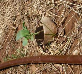 Figure 4.27. Toilet paper roll placed around young plant helps control cutworms. cause webbing or a bronzing cast to plant foliage.
