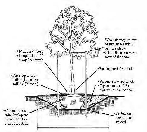 Figure 6.31. Diagram of properly planted tree. plants. These materials do not rapidly decompose and can girdle roots as they enlarge after passing through the material.