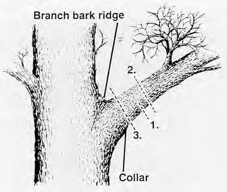 The first step is to saw an undercut from the bottom of the branch about 6 to 12 inches out from the trunk and about one-third of the way through the branch.
