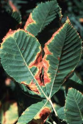 Cultural and Environmental Problems Leaf Scorch Leaf scorch appears mid- to late-summer when tree or shrub leaves show a browning or drying at the outer margin or in the areas between the veins