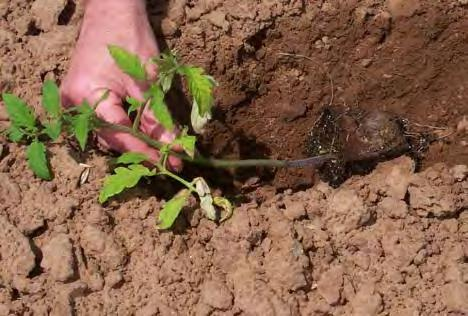 soil is dry, water a day or two before transplanting so soil is moist, but not wet or muddy.