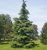 Plant a mix of deciduous trees and evergreen trees to allow for some sunny areas in the winter. Plant a new conifer tree to serve as the town tree for the holidays.